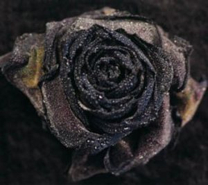 Rose n°1