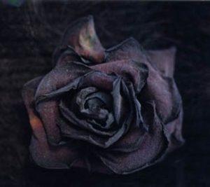 Rose n°3