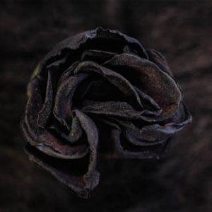 Rose n°5