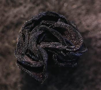 Rose n°6